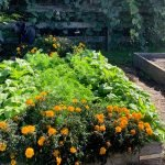 Beets,-carrots-and-marigolds
